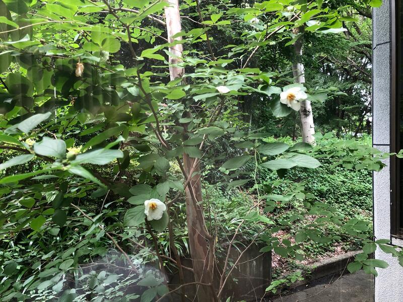 展示室前の窓から見る夏椿