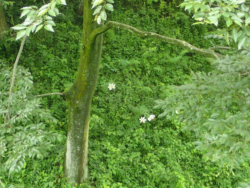 土塁の斜面に咲くヤマユリ