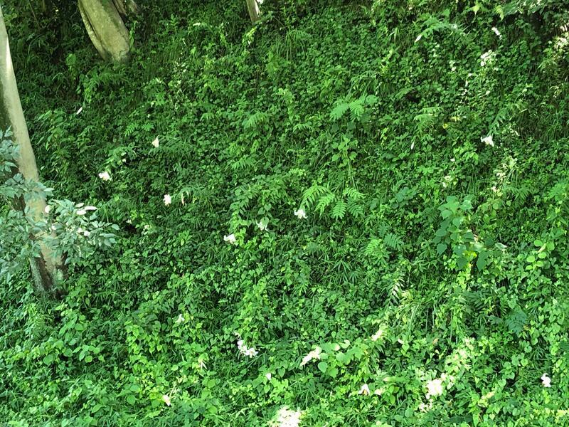 二ノ郭の堀に咲くヤマユリ